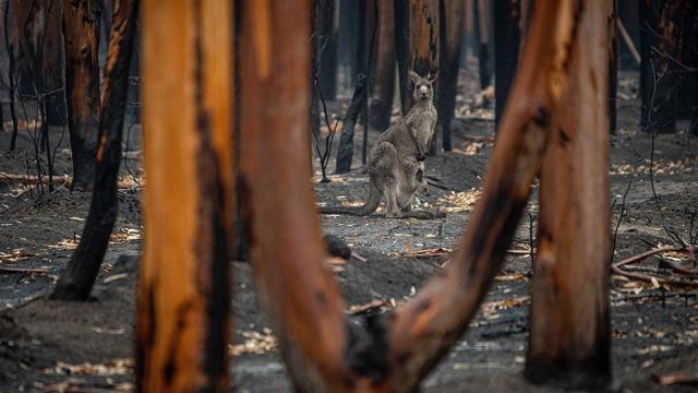 Kangaroo and joey in bushfire aftermath
