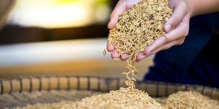 worradirek/Shutterstock https://www.shutterstock.com/image-photo/farm-jasmine-ricetheir-field-on-woman-718167154