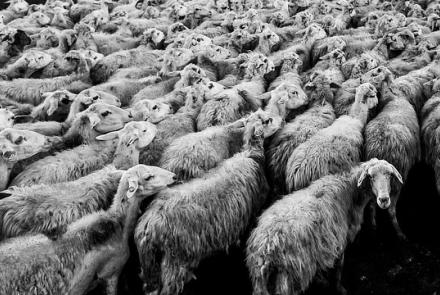 Sheep Image by Free-Photos from Pixabay